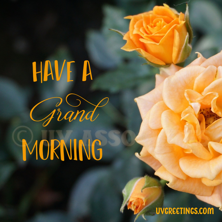 Orange Roses - buds & blooms - Good Morning Image