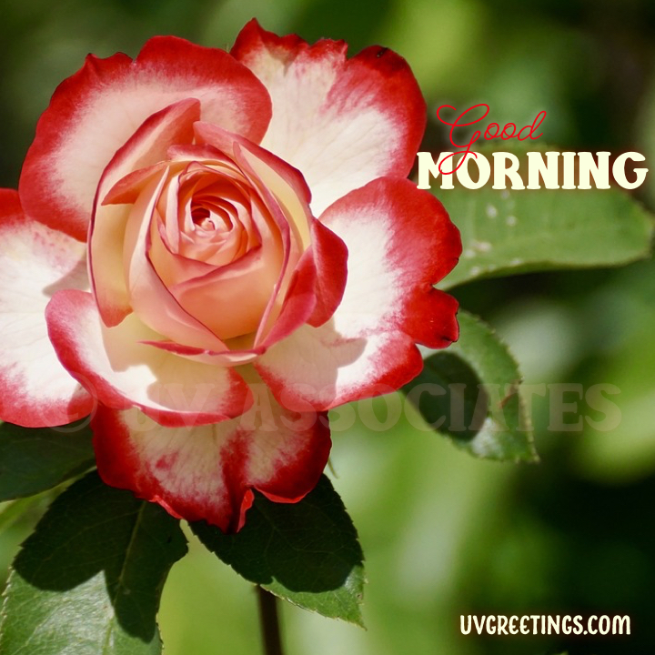 Red White Double delight rose - Good morning Image