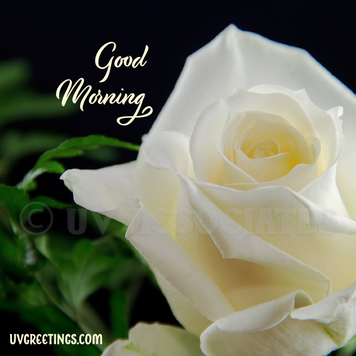 White Rose - Good Morning Image