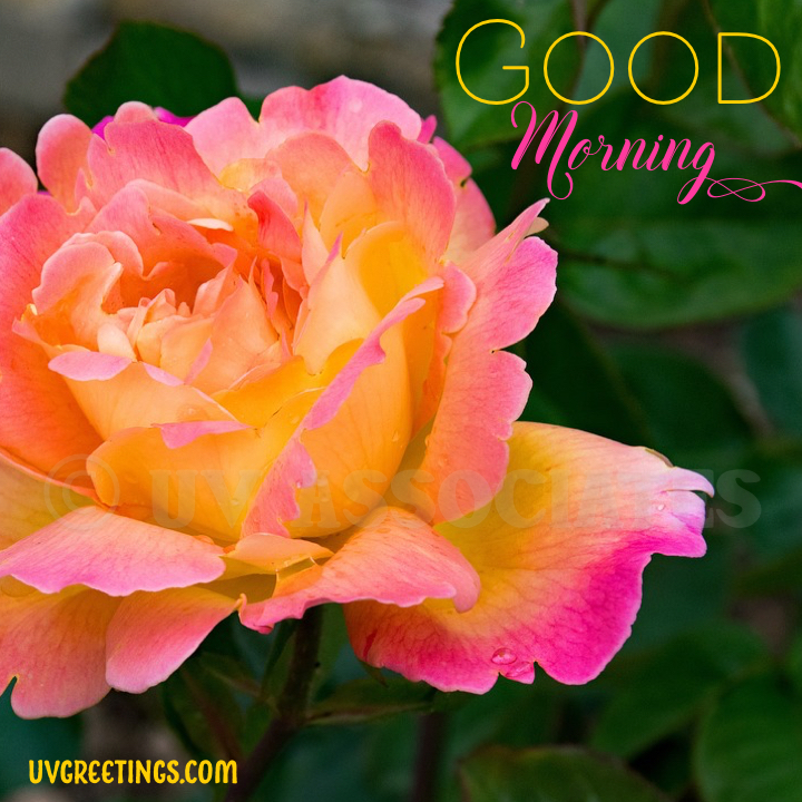 Orange Pink Rose - Good Morning Image