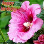 Ecard for wishing Birthday - Raindrops on Bright Pink Flower